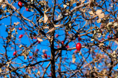 Close up of dog rose fruits in winter against the blue sky