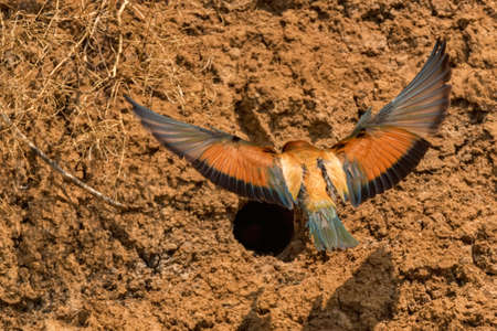 Back view European bee-eater or Merops apiaste flies up to its hole Фото со стока