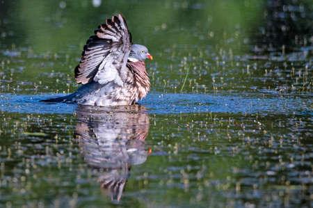 Wood Pigeon or Columba palumbus Stok Fotoğraf