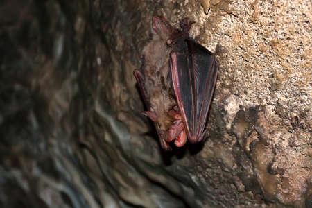 Close up of Lesser mouse-eared bat or Myotis blythii