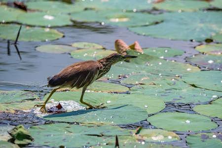 Close up of Indian pond heron or paddybird or Ardeola grayii