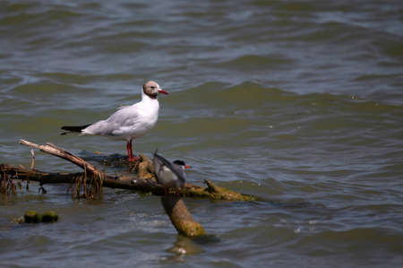 Close up of Black-headed Gull on the seaside