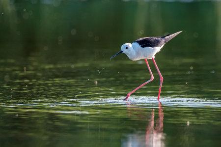 Black-winged stilt or Himantopus himantopus wades in marshland