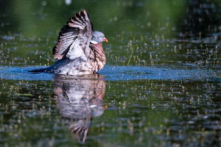 Wood Pigeon or Columba palumbus washes in water Foto de archivo