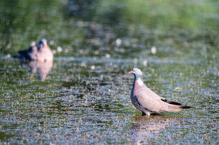 Few Wood Pigeon or Columba palumbus washes in water