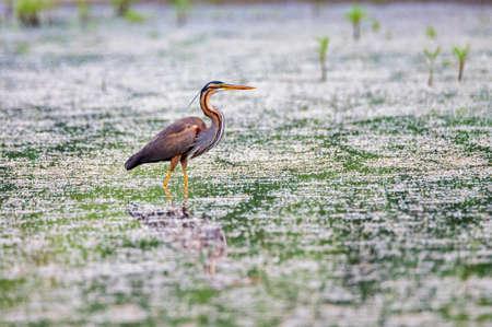 Purple heron or ardea purpurea wading in the swamp.