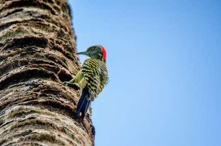 Hispaniolan Woodpecker or Melanerpes striatus on palm stem close