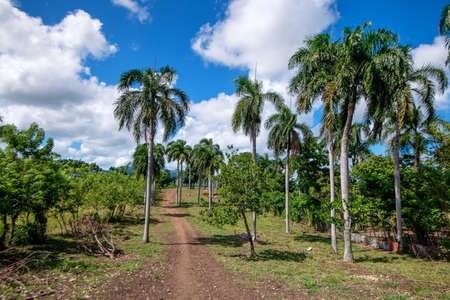Beautiful alley of palm trees between lush green in Dominican Republic