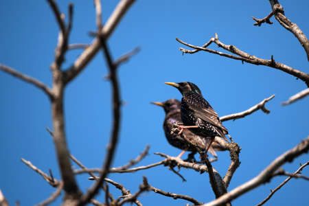 Beautiful pair of glossy starling sitting on dry ranch