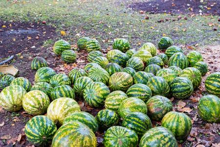 Namy ripe watermelons lie on the ground Foto de archivo - 168239792