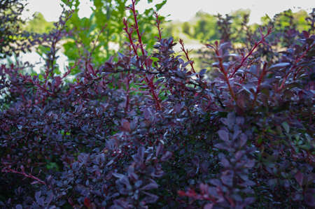 Purple shrubs with raindrops, dark leaves, nature
