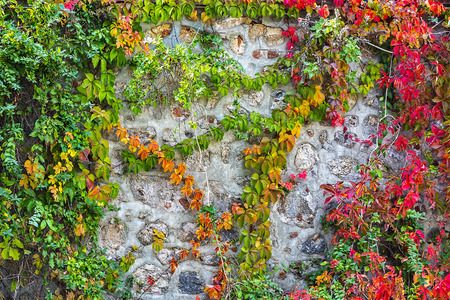 The color ivy on a stone wall, a beautiful background Reklamní fotografie