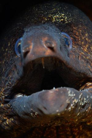 Mediterranean moray (Muraena helena), Saint Helena moray. Foto de archivo