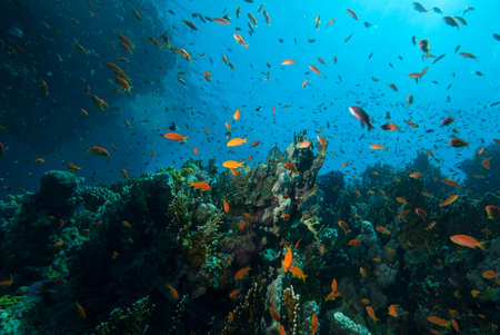 Underwater world. Coral fishes of Red sea. Egypt Banque d'images