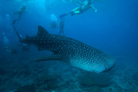 A group of people diving with whale sharks. Maldives