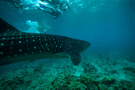 A group of people diving with whale sharks. Maldives Stock Photo