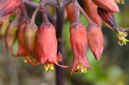 Brachychiton Acerifolius, its flowers are very cute, because they have the bright red bell-shaped flowers. 版權商用圖片