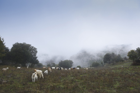 The sheepdog, on top of the mountains, check out the herd of goats. Winter and fog.