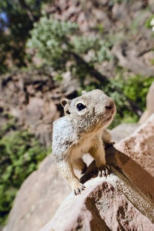 uinta mountains: Close portrait of a cute Uinta Ground Squirrel.