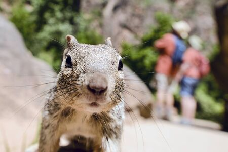 incisor: Close portrait of a cute Uinta Ground Squirrel.