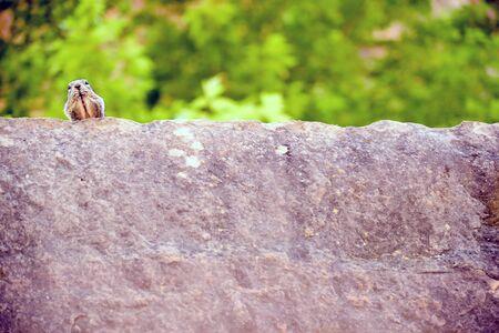 uinta mountains: Close portrait of a cute Uinta Ground Squirrel.