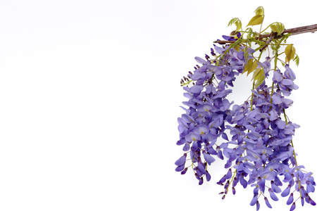 Wisteria flowers, green leaves border for an angle of page over a white background. decorative element Stock Photo