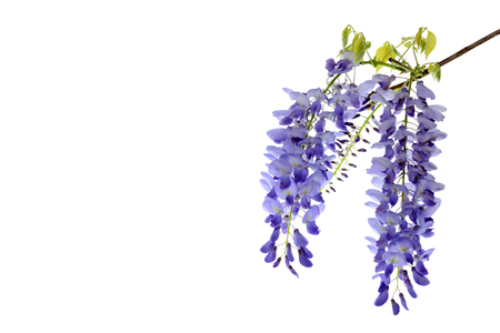 Wisteria flowers, green leaves border for an angle of page over a white background. decorative element 版權商用圖片