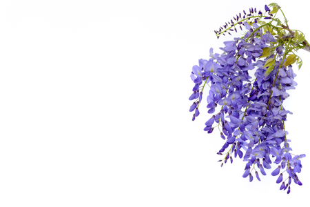 Wisteria flowers, green leaves border for an angle of page over a white background. decorative element Stok Fotoğraf