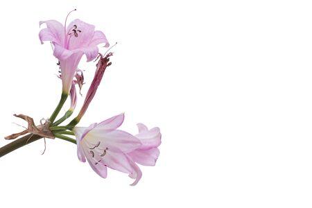 Primo piano del bouquet rosa e bianco del giglio isolato su bianco