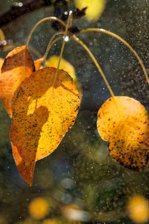 Yellowed leaves of wild pear tree in autumn. Water spray and droplets.