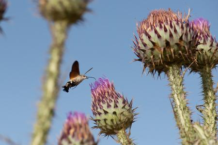 Hummingbird hawk moth feeding on flower, Macroglossum stellatarum, Iglesias, South Sardinia, Italy. Mediterranean.