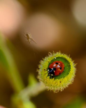 Ladybird on a camomile. Garden, chamomile.