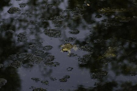 Common frog of Sardinia, present in the ponds in the summer. Its natural habitats are temperate forests, temperate shrubland, rivers, intermittent rivers, freshwater marshes, intermittent freshwater marshes, and urban areas. Stock fotó