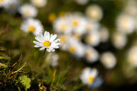 Abstract pattern of beautiful wild daisy (white flower), use for backdrop or background in natural environment and concept. Foto de archivo
