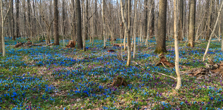 Spring motley grass in the forest. Blue snowdrops. Chernozem region.