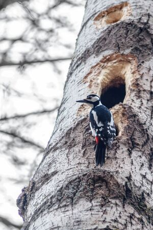 Forest birds. Woodpecker at hollow