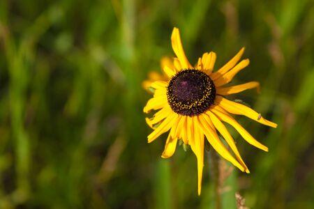 on yellow daisy: yellow daisy flower on green grass Stock Photo