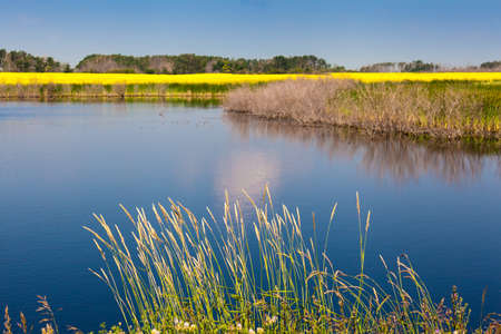 peacefull: blue water and yellow strip of blooming rapeseed and grass