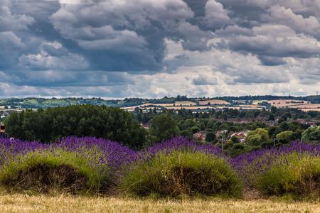 stormy sky: lavender field with stormy sky
