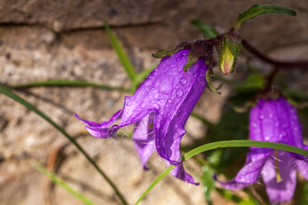 purple harebell Campanula rotundifolia growing on a side of a wall Stock Photo