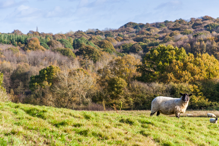 a black sheep on a grassy meadow with autumn forest in a background