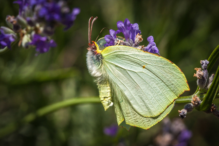 Brimstone butterfly sitting on a lavender plant