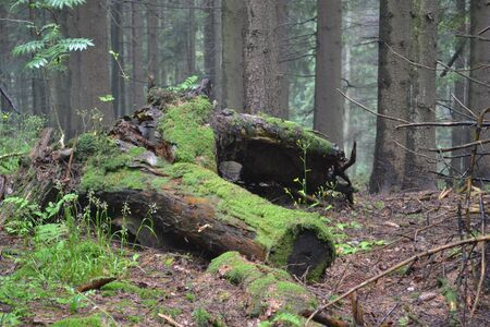 A stump covered with moss in the thicket of the forest