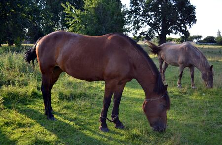 Horse herd on the pasture sunny summer day Stock Photo