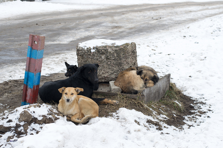 vagrant: Group of stray dogs lying on the ground in winter