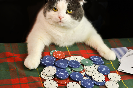 Serious fat flap-eared cat concentratedly playing poker Stock Photo
