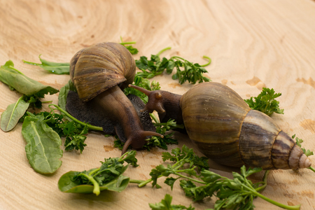African achatina snails eats greens at home on wooden background