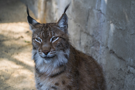 Portrait of a lynx at the zoo