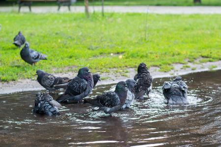 汚い水たまりの通り入浴ハト