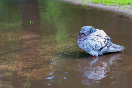 Pigeon bathing in the street in a dirty puddle